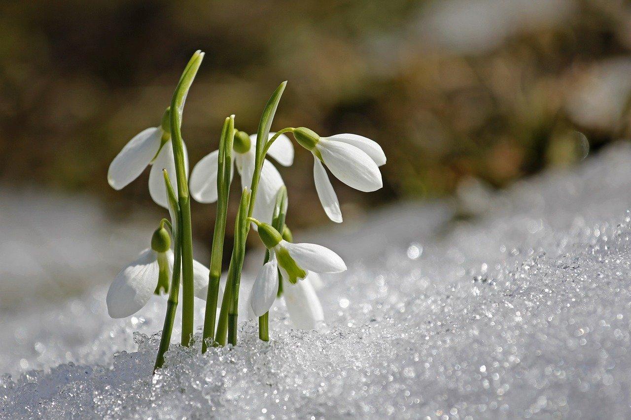 bucaneve_primavera