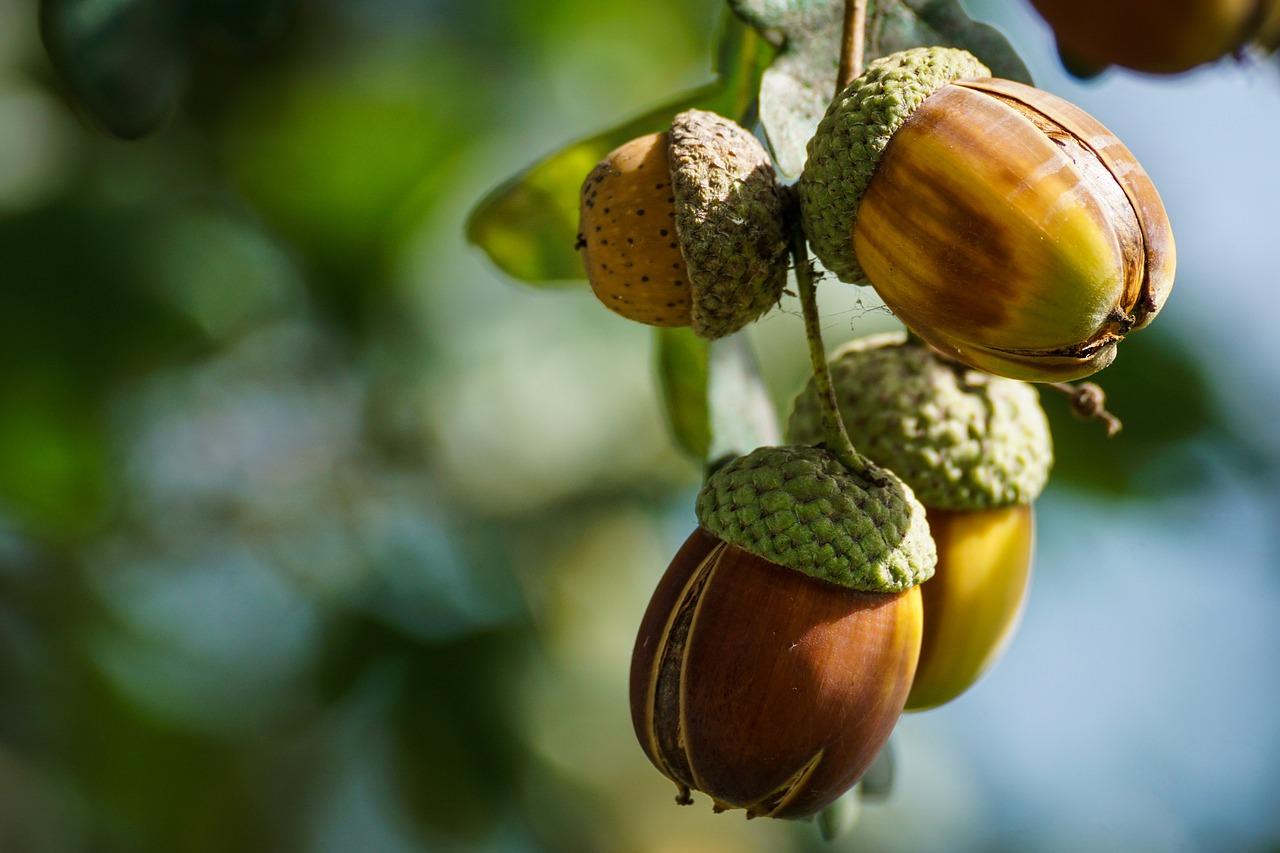 ghianda_frutto quercia